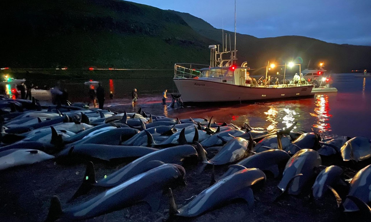 Faroes PM pledges dolphin hunt review amid outcry at carnage