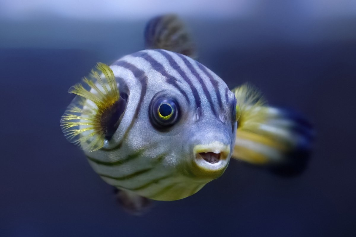 27 Fun Facts about the Puffer Fish You Might Not Know