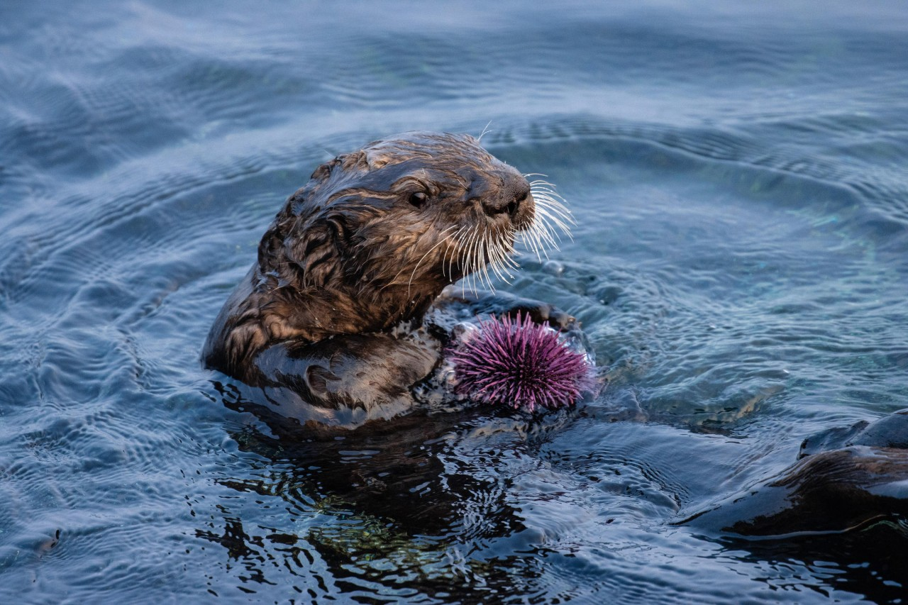 Sea Otters — The Guardians Of Monterey Bay's Kelp Forest